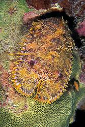 sculptured slipper lobster, Parribacus antarcticus, juvenile, Kona, Big Island, Hawaii, Pacific Ocean