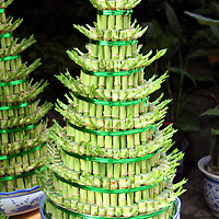 Asia, China, Chongqing. A lucky bamboo Christmas tree in a Chinese Flower Market in Chongqing.