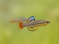 Bluefin Killifish<br /> <br /> Bryce Gibson/Engbretson Underwater Photography