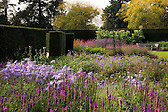 An autumn border in shades of purple including  Aster x frikartii 'Monch' and a yew hedge at the Savill Garden, Surrey, UK