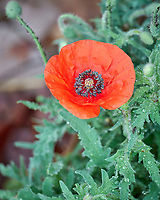Red Poppy flower. Image taken with a Leica SL2 camera and 90-280 mm lens.