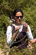 Inspecting White Asphodel in Nature, Asphodelus Ramosus