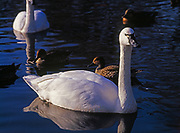 Tundra Swan, Cygnus columbianus, pond at Jack Miner Bird Sanctuary, Kingsville, Ontario, Canada.