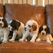 Ursa x Franklin Puppies and Tom Puppy | 4/24/2021