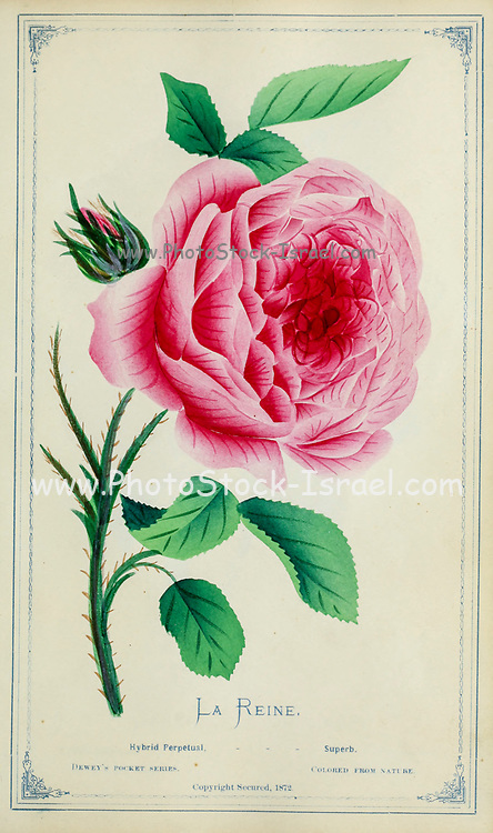 La Reine - Hybrid Perpetual Rose from Dewey's Pocket Series ' The nurseryman's pocket specimen book : colored from nature : fruits, flowers, ornamental trees, shrubs, roses, &c by Dewey, D. M. (Dellon Marcus), 1819-1889, publisher; Mason, S.F Published in Rochester, NY by D.M. Dewey in 1872