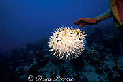 balloonfish,  spiny puffer, brown porcupinefish or long-spine <br /> porcupinefish, Diodon holocanthus, inflated with spines erect <br /> as a defense in response to diver harassment, <br /> Grand Cayman, Cayman Islands ( Caribbean Sea )