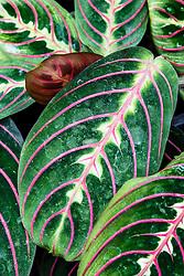 Las Cruces Biological Station/Wilson Botanical Garden, Puntarenas, Costa Rica