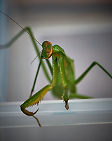 Praying Mantis. Image taken with a Fuji X-T2 camera and 80 mm f/2.8 macro lens (ISO 200, 80 mm, f/5.6, 1/280 sec).