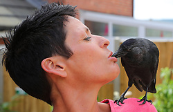 """EXCLUSIVE: A COUPLE WHO RESCUED A JACKDAW CHICK DUBBED JAKE NOW FEEL HE THINKS OF THEM AS HIS PARENTS BECAUSE HE'S SO TAME HE EATS FROM THEIR MOUTHS – AND REFUSES TO GO BACK By Magnus News Agency A couple who rescued a wild jackdaw chick now feel he thinks of them as his parents because he's so tame he eats from their MOUTHS – and refuses to go back to his own kind. Jake the jackdaw was just weeks old and without feathers when he was dropped by a seagull outside Jaime and Adrian Lee's house in Axminster, Devon, in May. The tiny chick was about to become food for two cats until Adrian, 43, ran out of the house and scooped him up. With two holes in his neck and a damaged leg and wing, Jake's days looked numbered but thanks to the love and care from Jaime and Adrian he's now become a very unusual house guest. The perky bird now likes nothing better than collecting remote controls and keys to hide around the house and he enjoys eating Wheat Crunchies and FAB lollies. Jaime and Adrian took advice from vets to help raise Jake and even tried to release him to be back with own kind – but so far Jake has refused to leave. He's also developed an interest in stealing five, ten and even £20 notes. Jackdaws are part of the corvid bird family, the same as magpies, crows and ravens, and a renowned for their intelligence and problem-solving ability. Housekeeper Jaime, 42, said the couple had spent about £600 on Jake building him perches and a special box outside, as well as feeding him mealworms and crickets. He's even now the star of his own Facebook page called Jake's blog. Jaime said when they first rescued Jake they weren't sure he would survive his injuries. She said: """"His first meal was actually a bit of Weetabix which I gave to him with a pipette, then my husband managed to give him some cat food in the afternoon. And by the morning after we rescued him, he was a totally different bird. """"He's so confident now and perky and full of it. We start"""