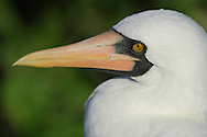 Masked Booby (Sula dactylatra), Punta Suarez, Española, Galapagos, Ecuador