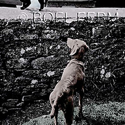 Bathule and cat. Weimaraner dog in Ireland.