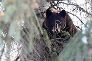 A large bear hides in a tree in the 600 block of West Main in Aspen, Colorado.