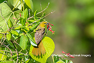 01618-01517 Orchard Oriole (Icterus spurius) female getting nectar on Dropmore Scarlet Honeysuckle Lonicera x brownii Marion Co. IL