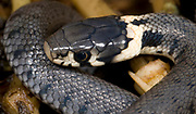 Close up of a young grass snake (Natrix natrix) showing the detail of the head and the characteristic pale-yellow 'collar', uncovered in a Norfolk garden compost heap in late summer