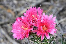 Big-Needle Pincushion Cactus