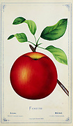 Fameuse Apple Variety from Dewey's Pocket Series ' The nurseryman's pocket specimen book : colored from nature : fruits, flowers, ornamental trees, shrubs, roses, &c by Dewey, D. M. (Dellon Marcus), 1819-1889, publisher; Mason, S.F Published in Rochester, NY by D.M. Dewey in 1872