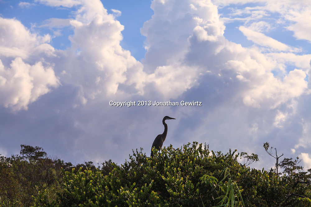 On a stormy day, a Great Blue Heron (Ardea herodias) perches in a tree at Taylor Slough on the Anhinga Trail in Everglades National Park, Florida. WATERMARKS WILL NOT APPEAR ON PRINTS OR LICENSED IMAGES.