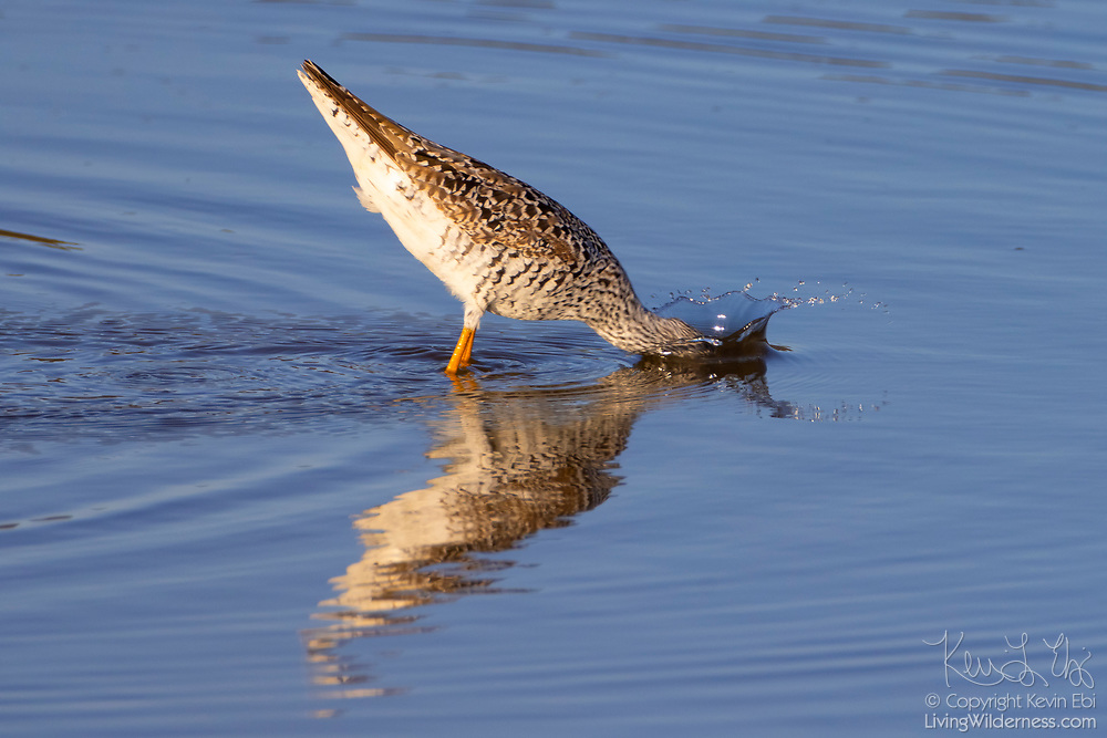 A greater yellowlegs (Tringa melanoleuca) plunges its head into shallow water along the Stillaguamish River near Stanwood, Washington. Greater yellowlegs feed on insects, small fish, marine worms, and crustaceans, sometimes using their bills to stir up water.