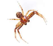 Xysticus lanio - Male. This species of Xysticus crab spider is unusual in that it is found most frequently in the canopy foilage od woodland trees. It is typically a more dark reddish spider than othe Xysticus species