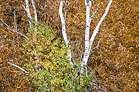 Green and yellow Cottonwood leaves, white Aspen trunks, and yellow-orange-brown Willow leaves juxtaposed in autumn at the Conboy National Wildlife Refuge, Klickitat County, WA, USA