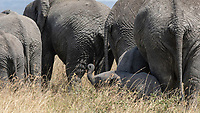 African Elephant calf, Loxodonta africana, stands behind a row of adults in Serengeti National Park, Tanzania