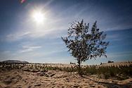 Lone tree grows in the sand dunes of Mui Ne, Binh Thuan Province, Vietnam, Southeast Asia