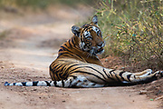 Wild Bengal tiger laying on the road while very alertly looking up, Ranthambore National Park, Rajasthan, India