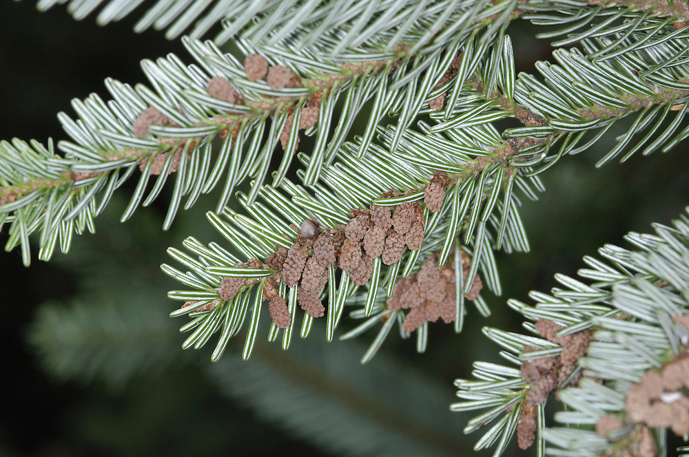 European Silver Fir Abies alba (Pinaceae) HEIGHT to 47m <br /> Fast-growing fir, reaching a great size; until 1960s held record for tallest tree in Britain. BARK White on trunk and branches of mature trees, grey on younger trees. LEAVES Thick needles, up to 3cm long, notched at tip and in 2 rows on twigs, which are covered with pale brown hairs. REPRODUCTIVE PARTS Erect cones green at first, maturing orange-brown and up to 20cm long. Eventually disintegrate into fan-like scales and toothed bracts, leaving just the protruding woody axis. Cones normally grow high up. STATUS AND DISTRIBUTION Native of European mountains. At one time widely planted in Britain for timber.