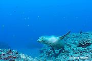male Hawaiian monk seal, Monachus schauinslandi ( critically endangered endemic species ), Lehua Rock, near Niihau, off Kauai, Hawaii ( Pacific Ocean )