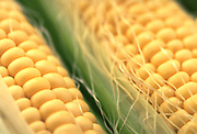 Extreme close up selective focus photograph of a couple ears of yellow corn