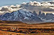 Group of guanacos in the evening light heading toward Fritz Roy, Argentina.