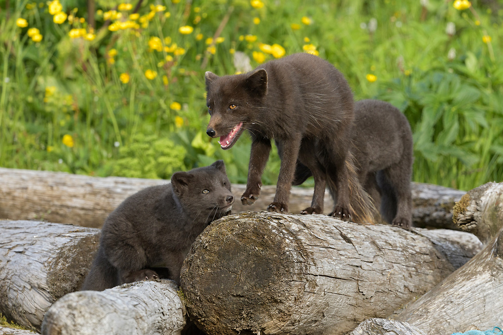 Adult male Arctic fox (Alopex lagopus) with cubs at the den. Hornvik, Westfjords, Iceland. July 2019