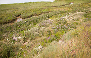 Sea-Lavender, limonium vulgare, in flower growing in salt marsh, River Deben, Sutton, Suffolk, England, UK