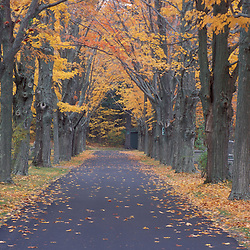 Sugar Maples line a road in a Rye Cemetary.  Rye, NH.