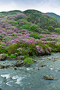 Rhododendron bushes on mountainside of Moel Hebog Mountain at Beddgelert, Gwynedd, Wales