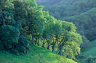 Oak trees on green hillside in Spring, Briones Regional Park, Contra Costa, California