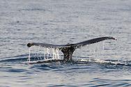 Humpback whale, Megaptera novaeangliae, Dana Point California