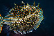 Aracana ornate (Ornate Cowfish)
