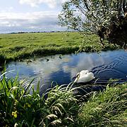 Nederland Stolwijk 29 mei 2007 20070529.zwaan zwemt in watergang in rustiek water landschap. .Serie tbv Schieland en de Krimpenerwaard, deze zorgt als waterschap voor droge voeten en schoon water in een bepaald gebied. Het beheersgebied van Schieland en de Krimpenerwaard strekt zich uit tussen Rotterdam, Schoonhoven en Zoetermeer. Binnen dit gebied zorgt Schieland en de Krimpenerwaard voor de kwaliteit van het oppervlaktewater, het waterpeil en de waterkeringen. Daarnaast beheert Schieland en de Krimpenerwaard een aantal wegen in de Krimpenerwaard...Foto David Rozing