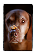 SHOT 1/19/13 11:24:16 AM - Tanner, a 9 year-old male Vixsla, balances a Cheezit on his nose waiting for the alright command. The Vizsla is a dog breed originating in Hungary, which belongs under the FCI group 7. The Hungarian or Magyar Vizsla are sporting dogs and loyal companions, in addition to being the smallest of the all-round pointer-retriever breeds. (Photo by Marc Piscotty / © 2013)