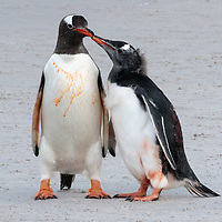 Chick begging from parent. Pygoscelis papua, Carcass Island, Falkland, February 2019