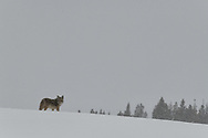 A coyote looks back after climbing a hilltop