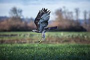 A red-tailed hawk is released in a field in Duvall after rehab at Sarvey Wildlife in Duvall. (Steve Ringman / The Seattle Times)