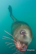 Steller's sea lion, or Steller sea lion, or northern sea lion, Eumetopias jubatus (an Endangered Species in the western part of its range, and Threatened in the eastern portion), Glacier Island, Columbia Bay, Alaska, United States of America ( Prince William Sound )