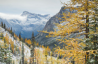 Larches displaying golden autumn color after fresh snowfall at Cutthroat Pass, North Cascades Washington