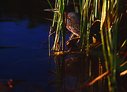 Green Heron, Butorides virescens, among cattails, Mrazek Pond, Everglades National Park, Florida.