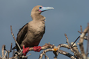 Red-footed booby (Sula sula) <br /> Tower Island<br /> GALAPAGOS,  Ecuador, South America