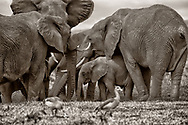 Elephant herd huddle aorund the waterhole to quench their thirst during their long migration in Lewa, Kenya.