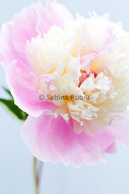 Paeonia lactiflora 'Bowl of Beauty' - peony