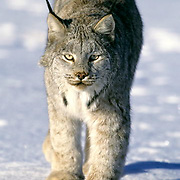 Canada Lynx, (Lynx canadensis) Adult walking on snow covered ice Rocky mountains. Montana. Winter. Captive Animal.